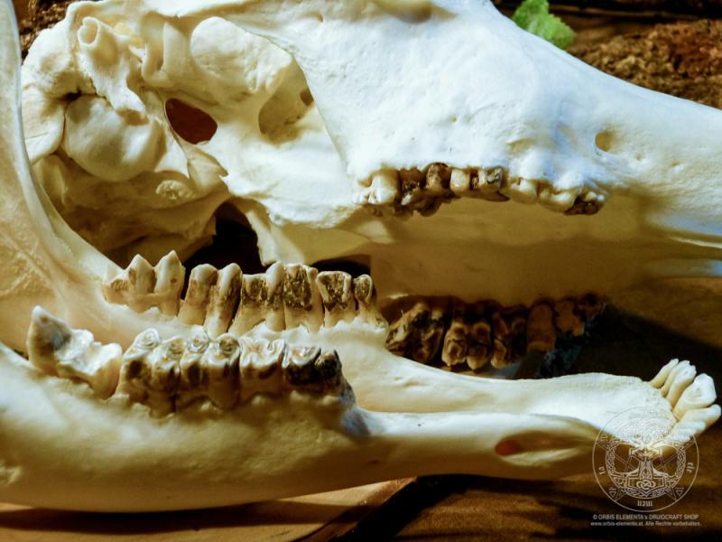 Schädel einer Antilope (inkl. Unterkiefer)