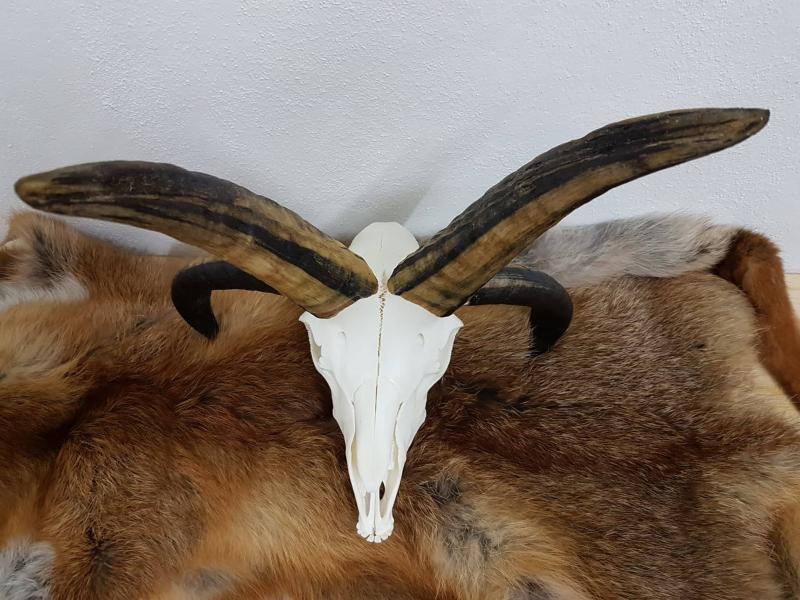 Schädel eines Jacobschafs (inkl. Unterkiefer)