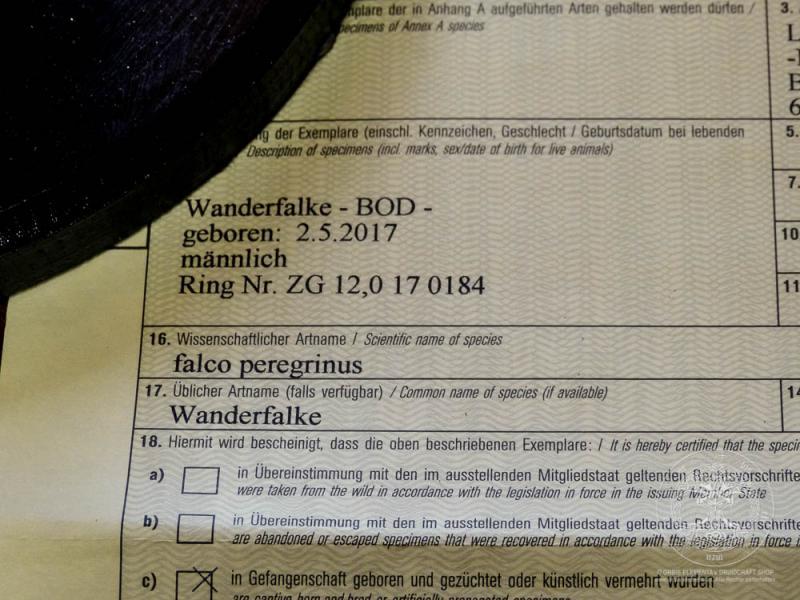Wanderfalke - Präparat mit EU-Papieren *UNIKAT*